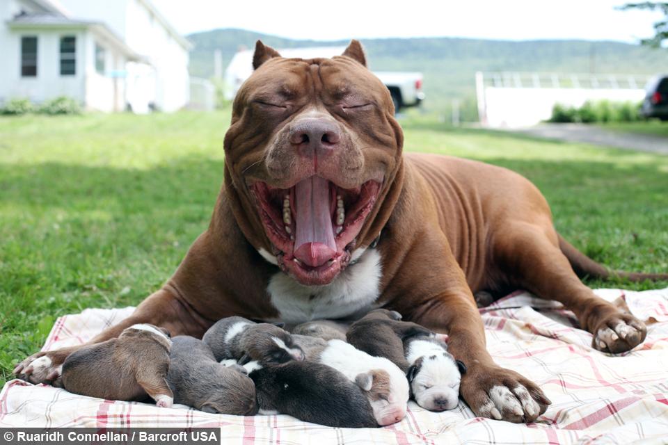 is hulk the biggest dog you ve ever seen tailsmart pets