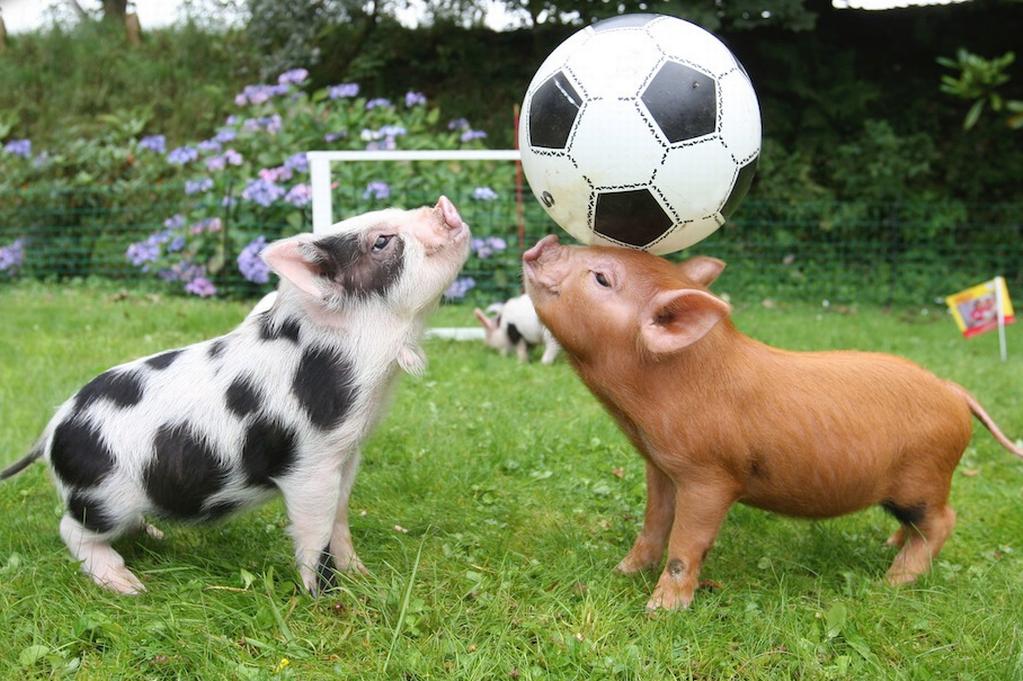 ボールで遊ぶ子豚