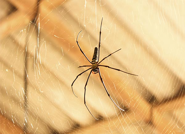 8 non chemical ways to get rid of spiders in your home for How to get rid of spiders in the house uk
