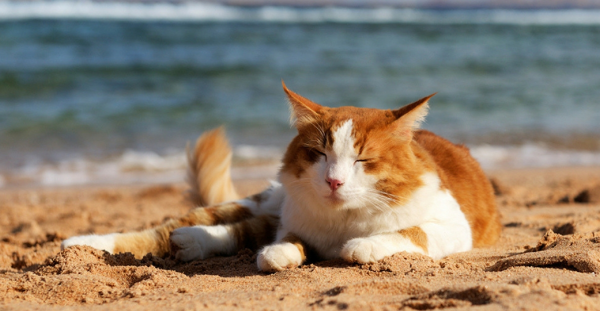 What To Do When Your Cat S In Heat