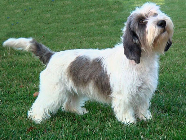 13 unusual dog breeds that will become your new obsession - Petit basset hound angers ...