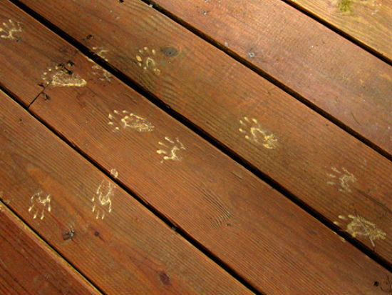Follow These 7 Steps To Keep Raccoons Off Your Property