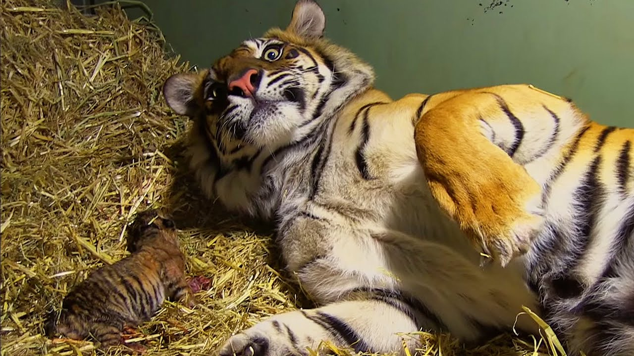 Mother Tiger S Cub Stops Breathing After Being Born But