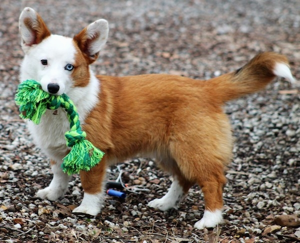 24 more adorable pictures of corgi mixes that remind us why they u0026 39 re the greatest