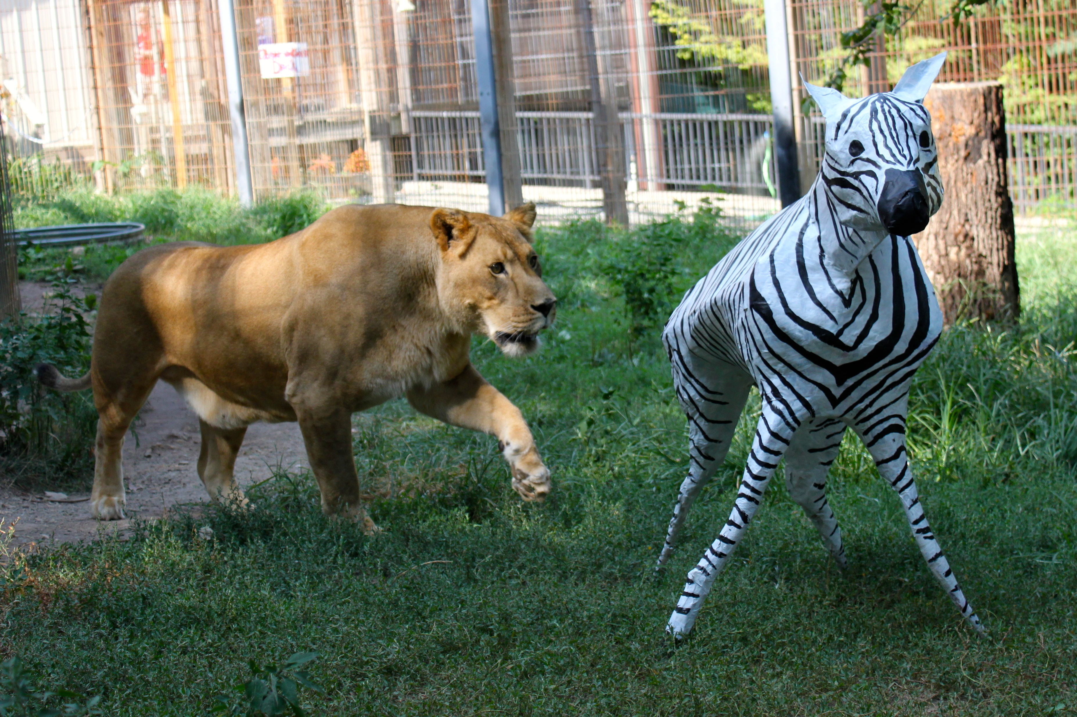 Best Big Cats To Have In A Sanctuary