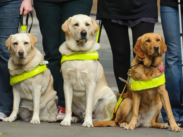 How guide dogs react at getting attack? | our dogs and us.