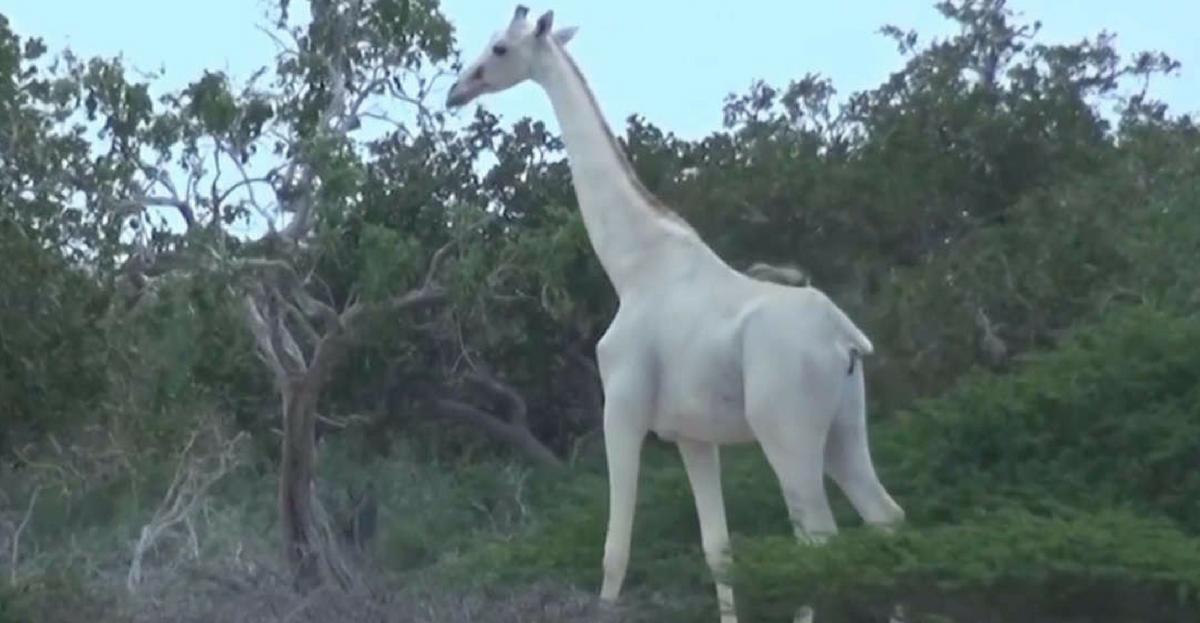White giraffe movie
