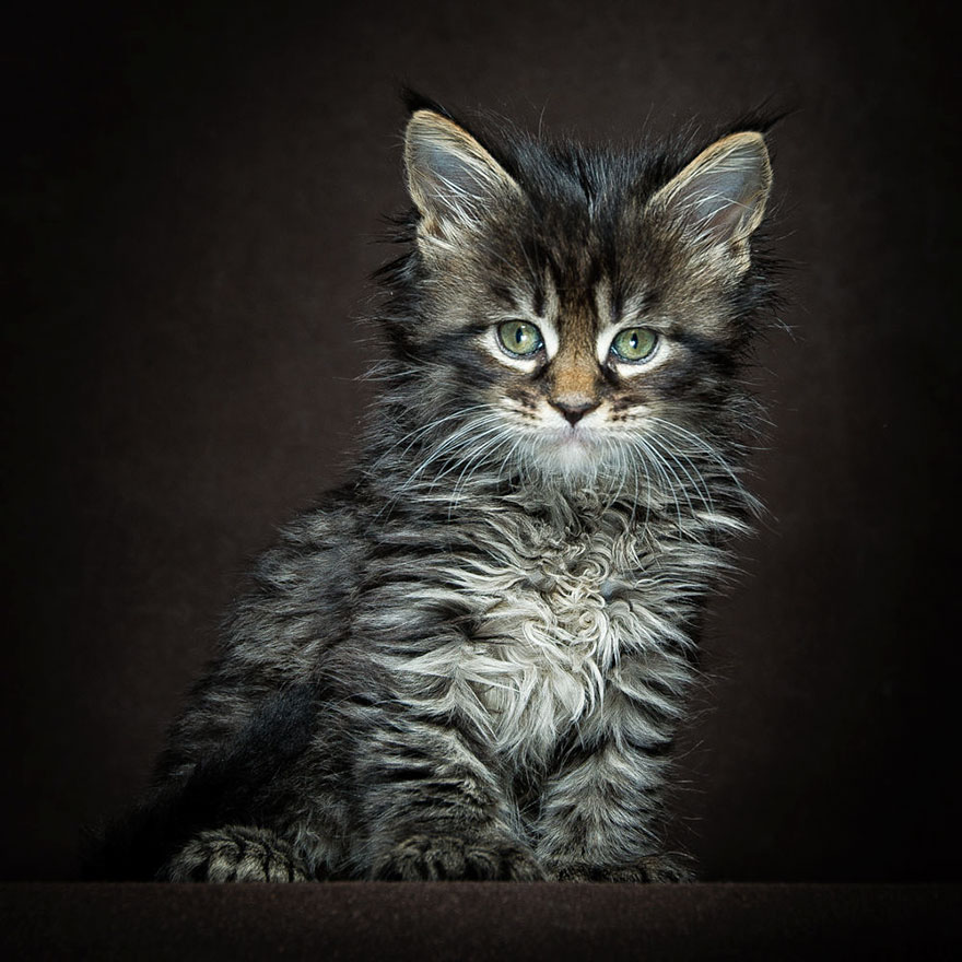 40 Majestic Pictures Of Maine Coon Cats That Will Take ...