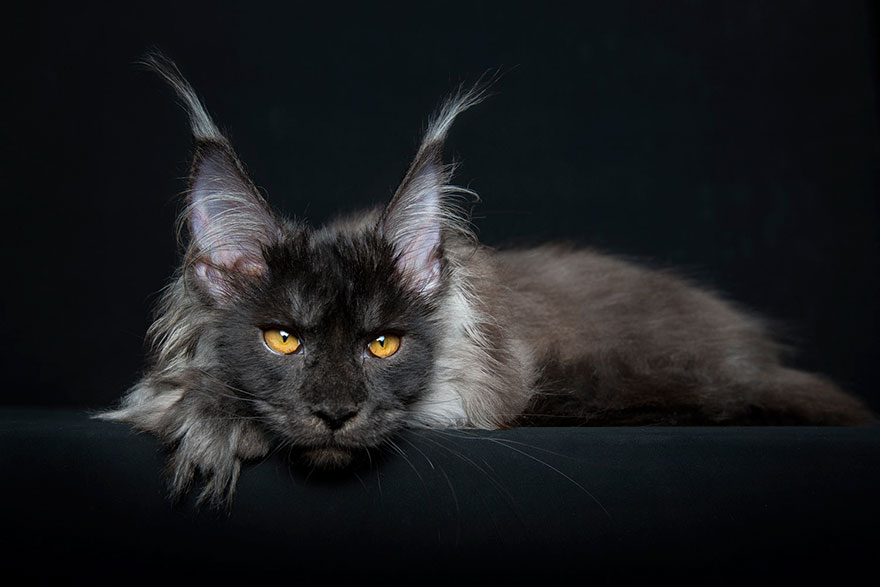 40 Majestic Pictures Of Maine Coon Cats That Will Take Your