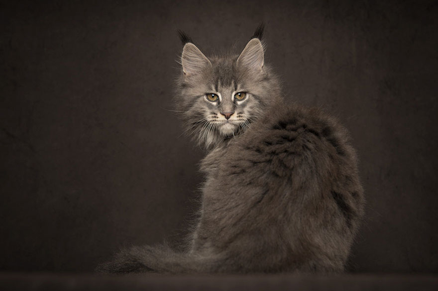 40 majestic pictures of maine coon cats that will take for Koi pond maine coon cattery