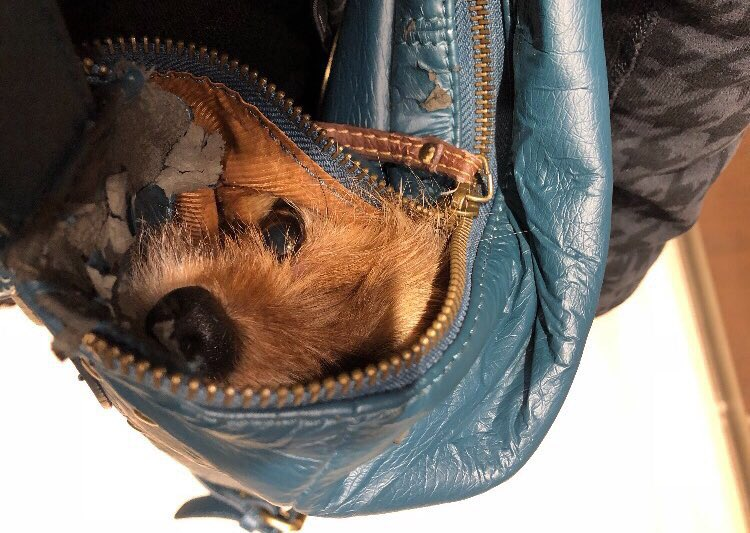 Puppy hiding in a purse