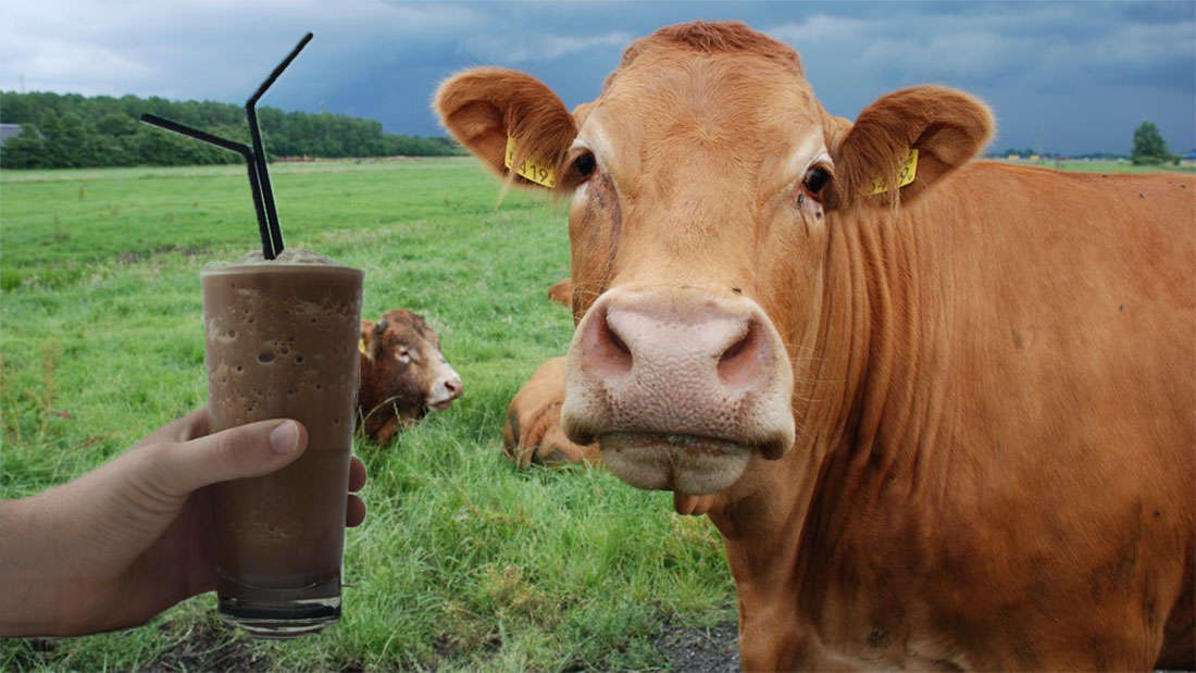 Chocolate milk and a cow