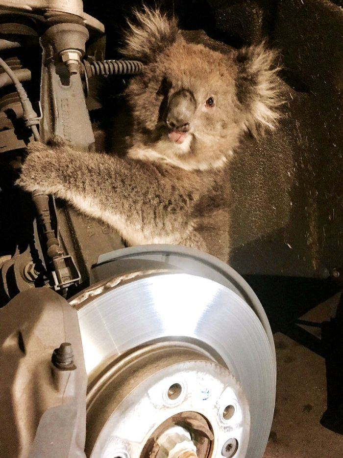 The koala behind the wheel's arch