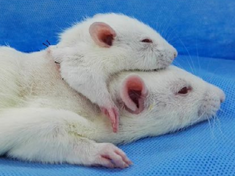 Rat head transplant