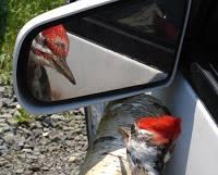 The criminal woodpecker