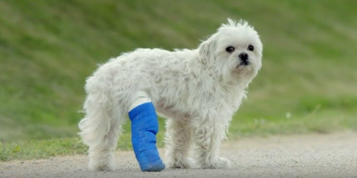 Dog with a wound