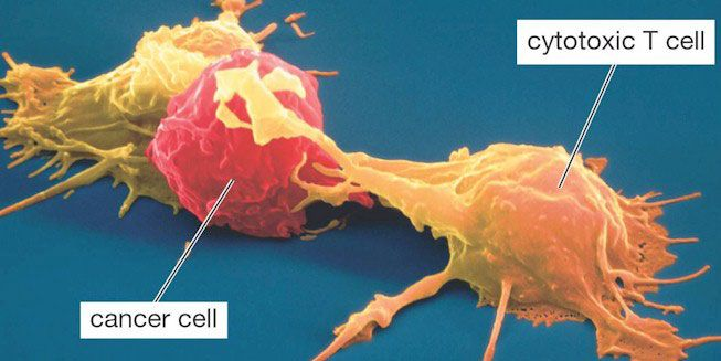 T cell fighting cancerous cell
