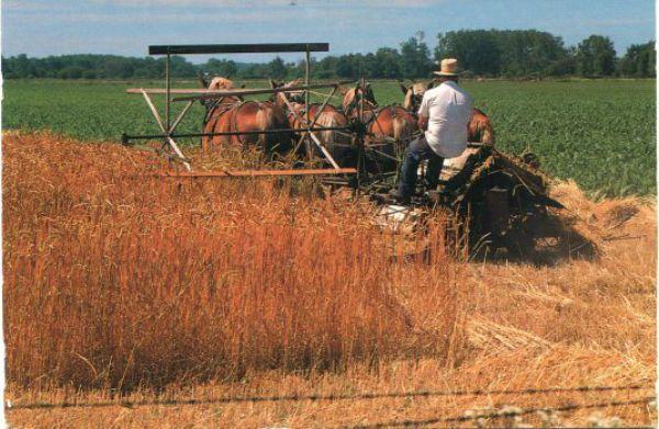 Amish harvest.