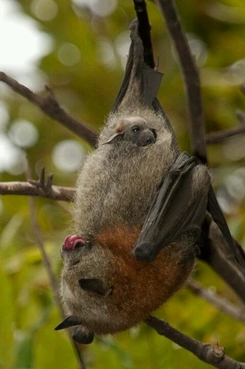 A bat giving birth