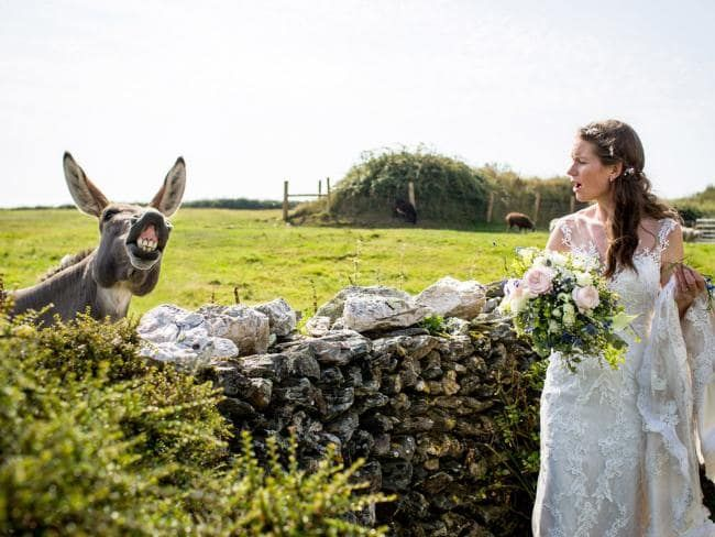 Donkey smiling beside bride