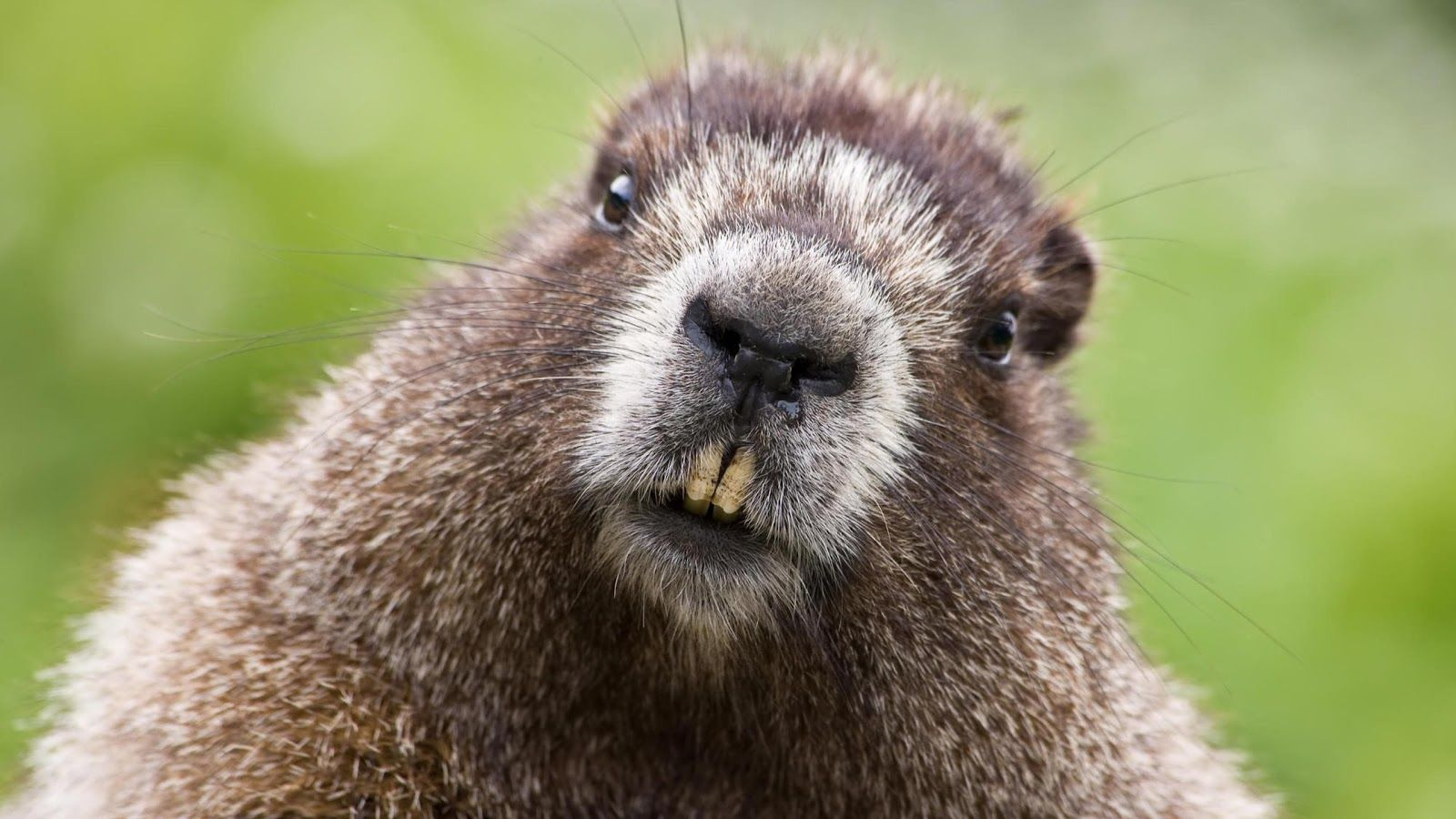 A beaver showing his teeth