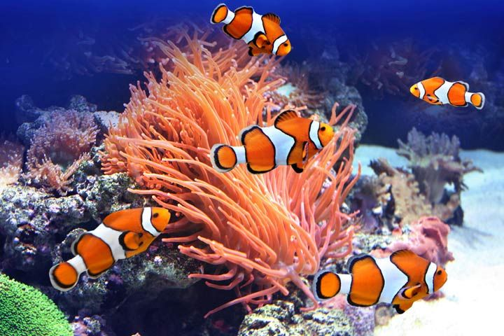 A clown fish around a coral reef