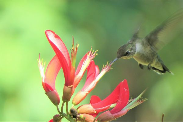 Everything You Need To Fill Your Yard With Beautiful Hummingbirds Hummingbird Flowers
