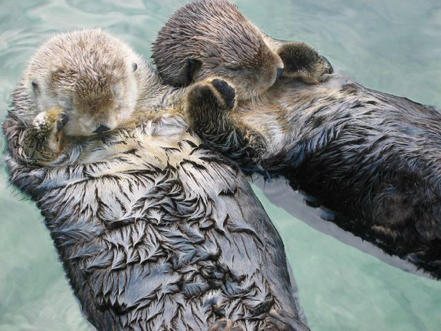 Two otters holding hands while sleeping