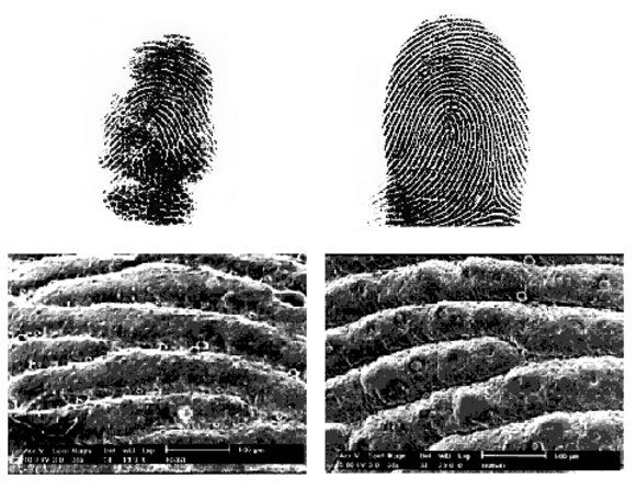 A koala and human fingerprint comparison