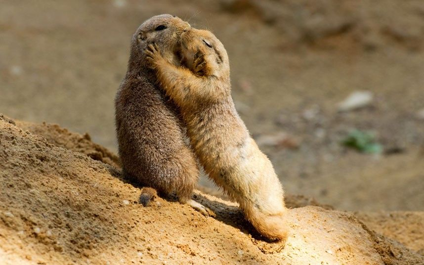 Two prairie dogs kissing