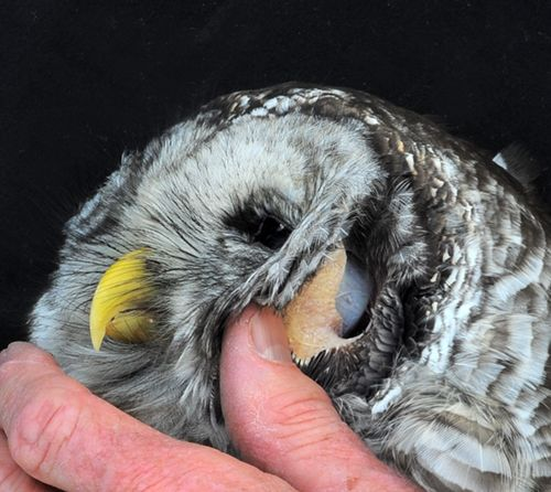 An owl's eye tube