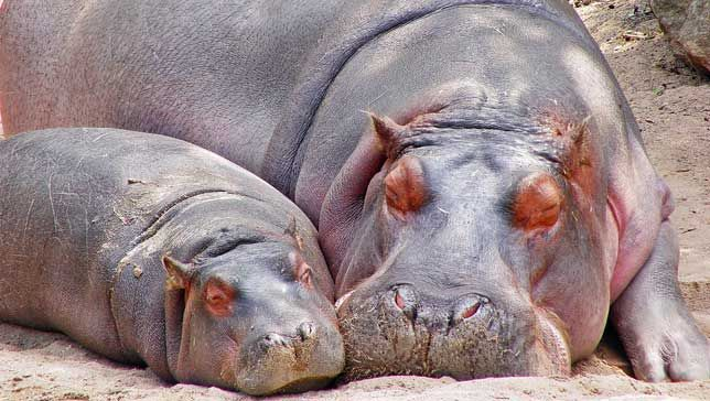 Two hippos laying down