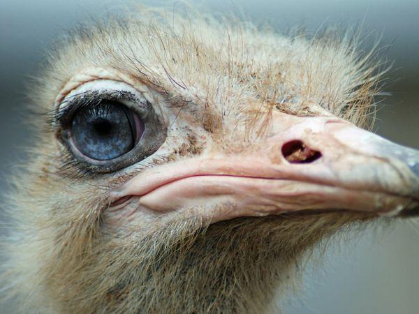 An ostrich's eye