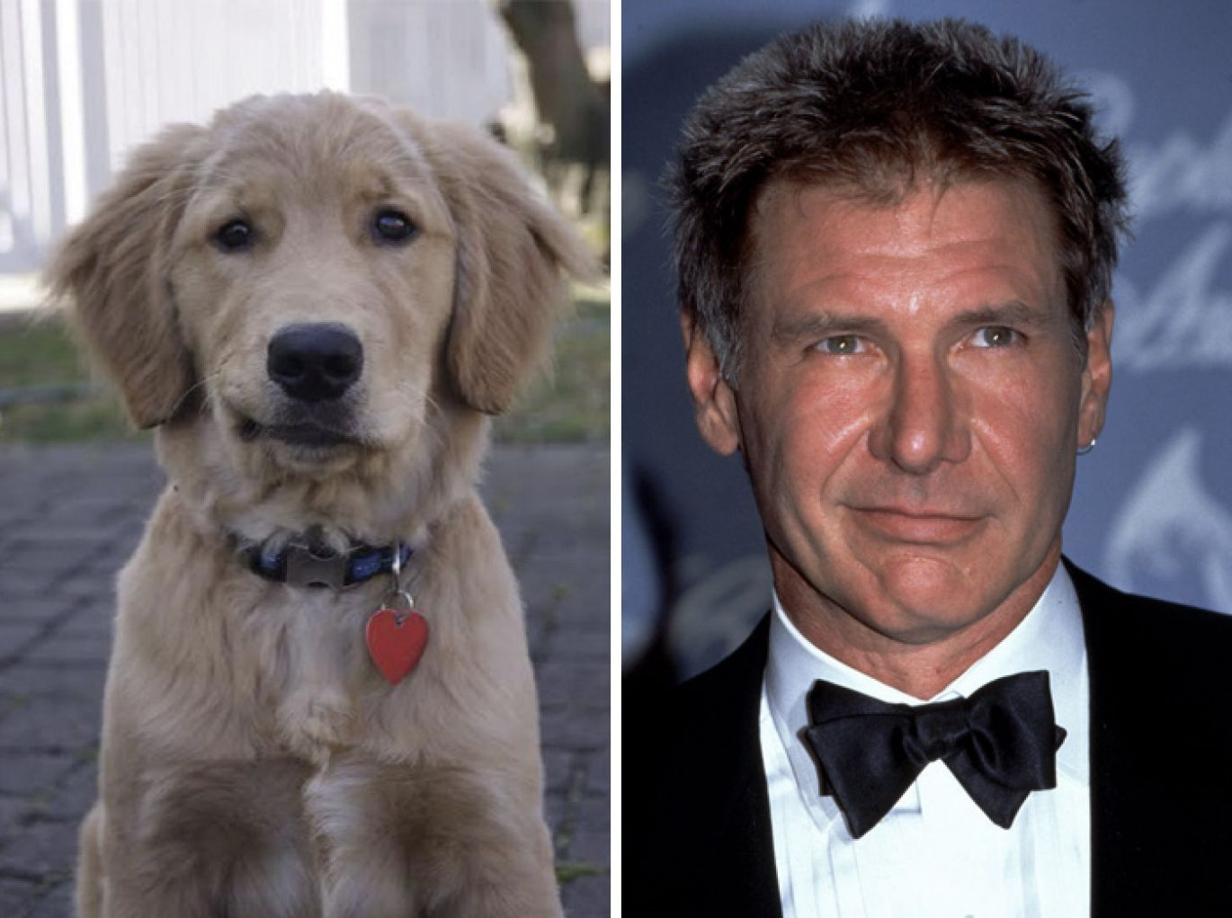 Harrison Ford and a yellow lab