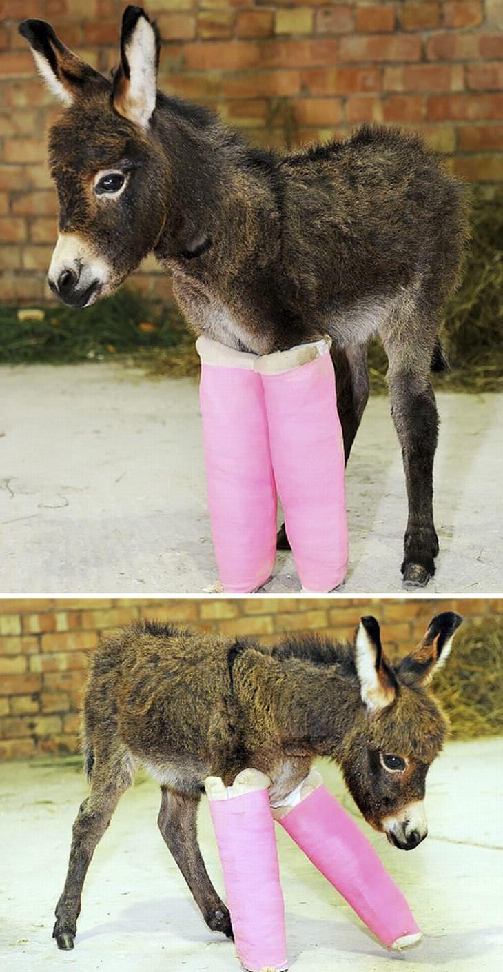 A donkey in leg casts