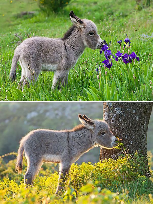 A baby donkey smelling flowers
