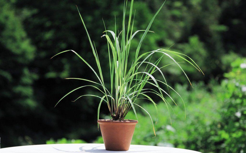 14 Garden Plants That Repel Mosquitoes
