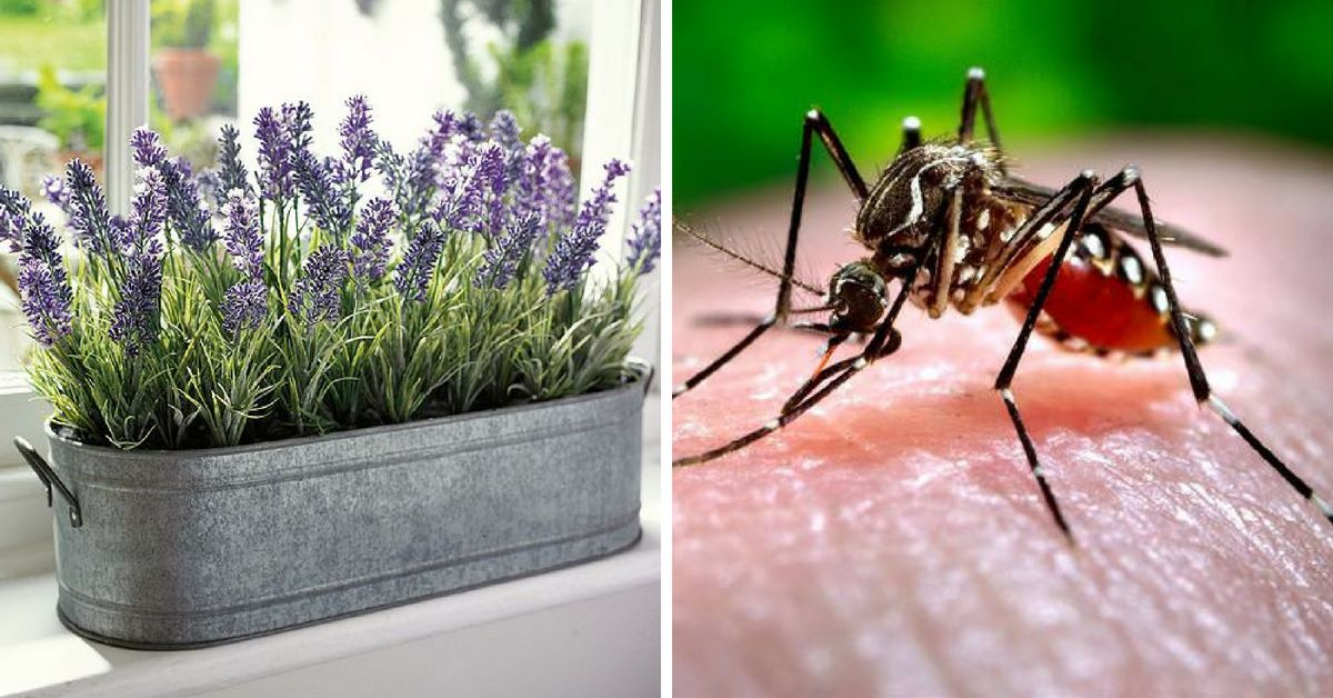 15 Common Plants That Repel Mosquitoes And Smell Amazing