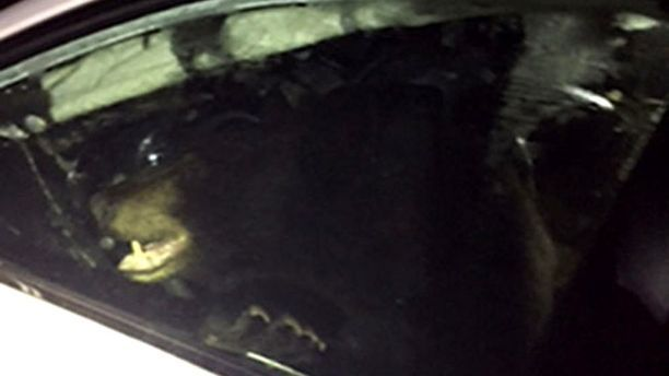 Bear stuck in car