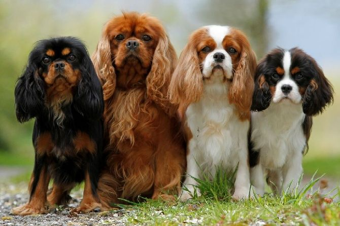 Four cavalier king charles spaniels posing outside
