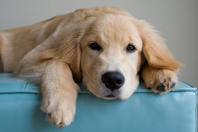 A golden retriever lying down