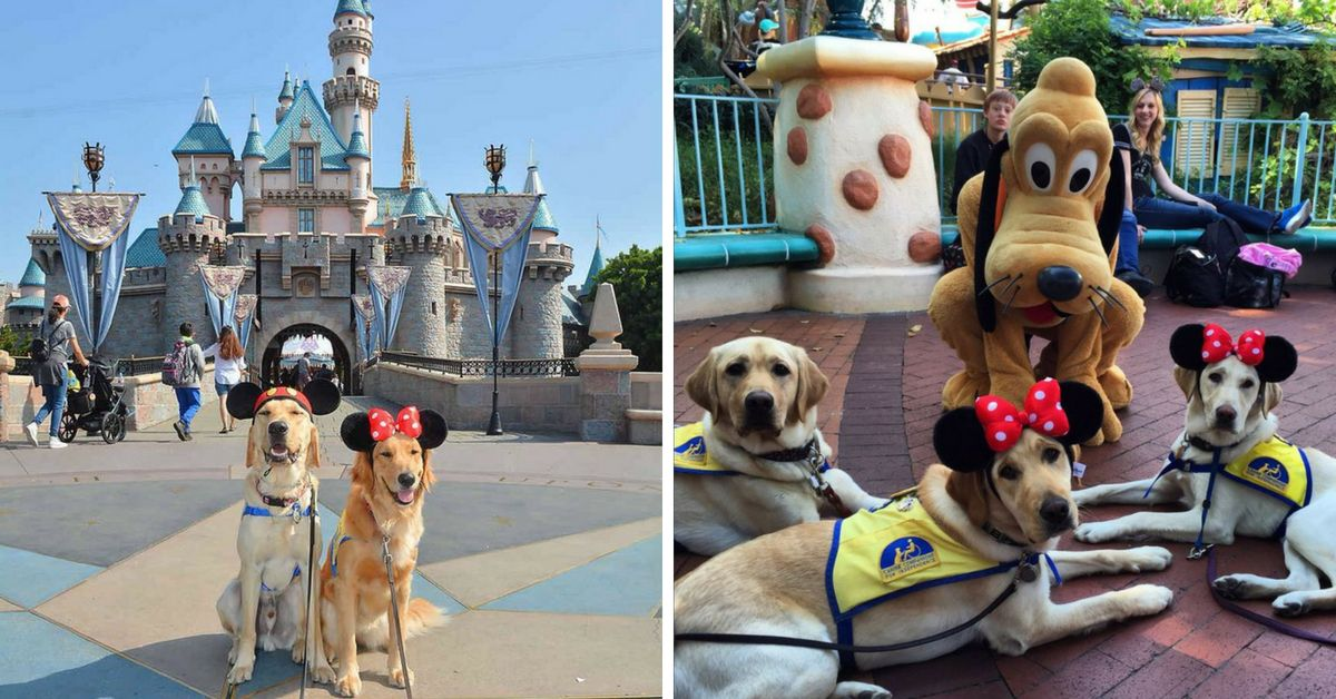 Service Dogs Visiting Disneyland Is The Most Pure And Wonderful Thing You