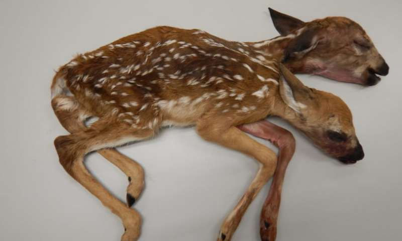 Conjoined fawns