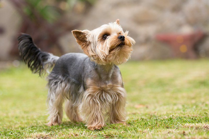 A yorkie in the field