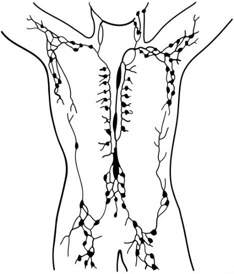 Lymph networl