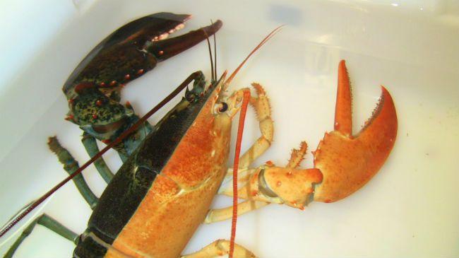 Lobster color
