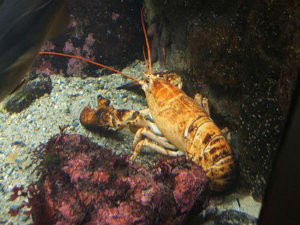 Lobster color.