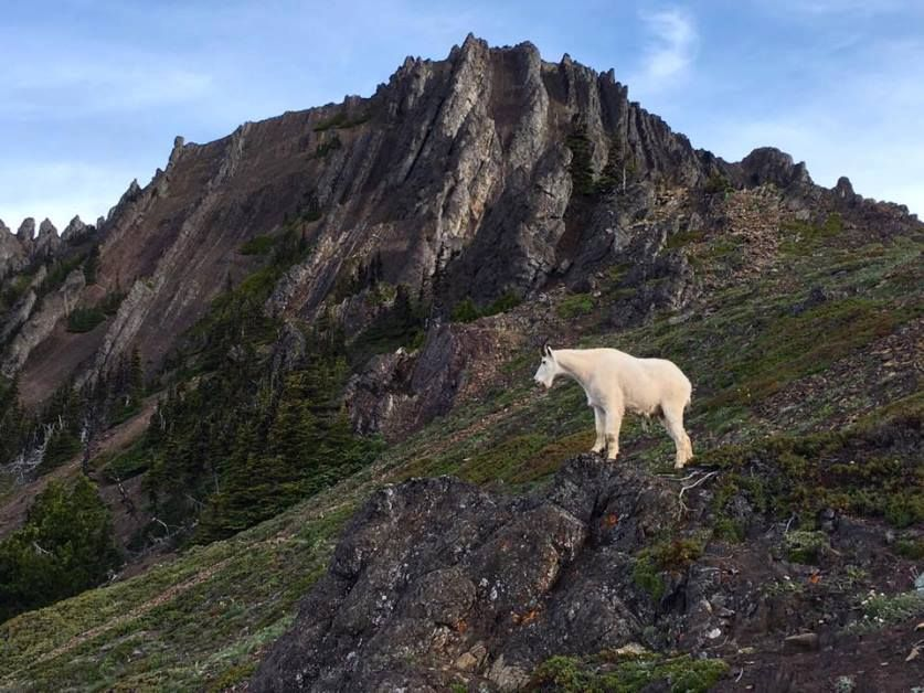 Mountain Goats in Olympic National Park