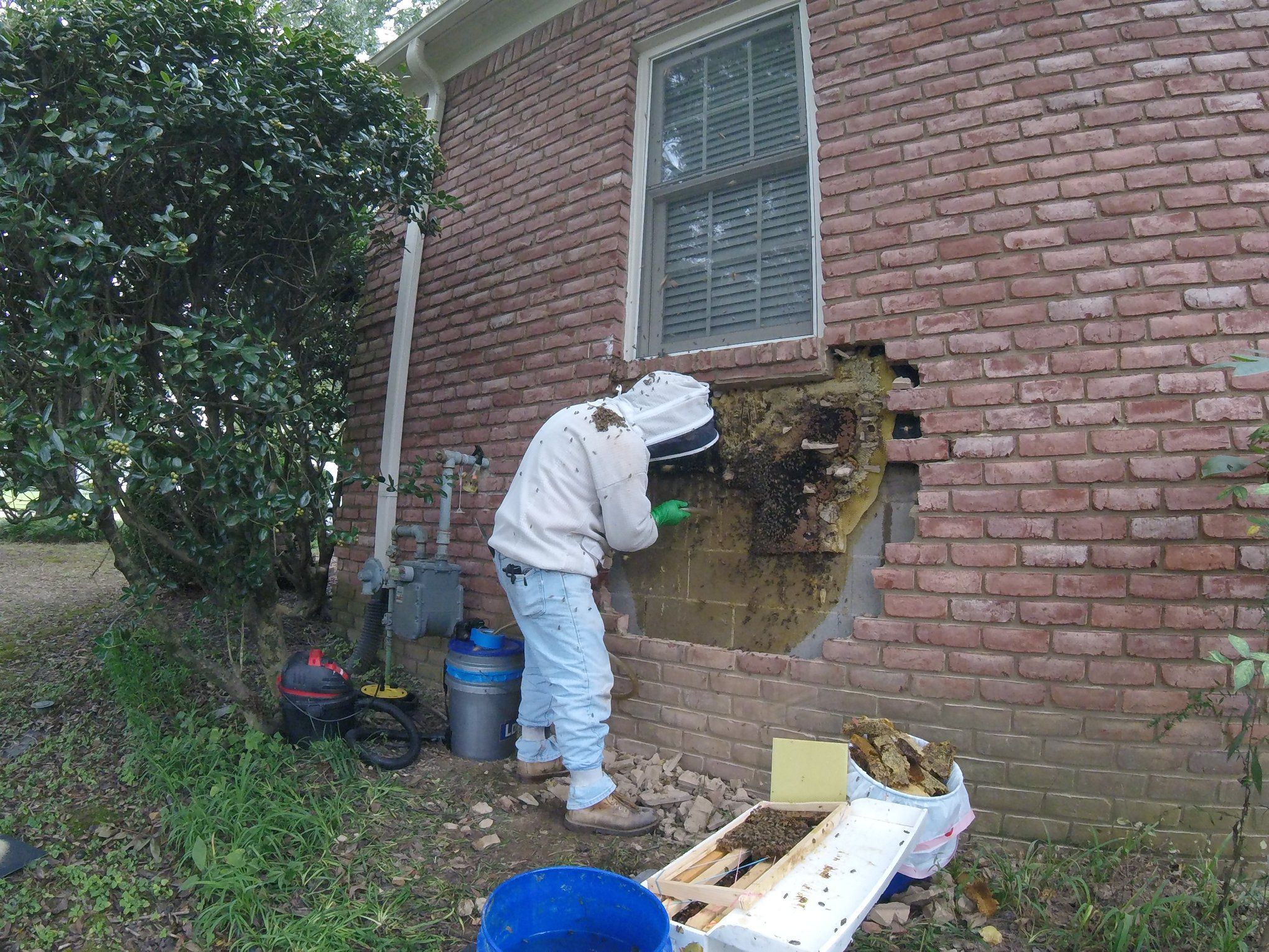 Bee keeper removing bees from brick wall