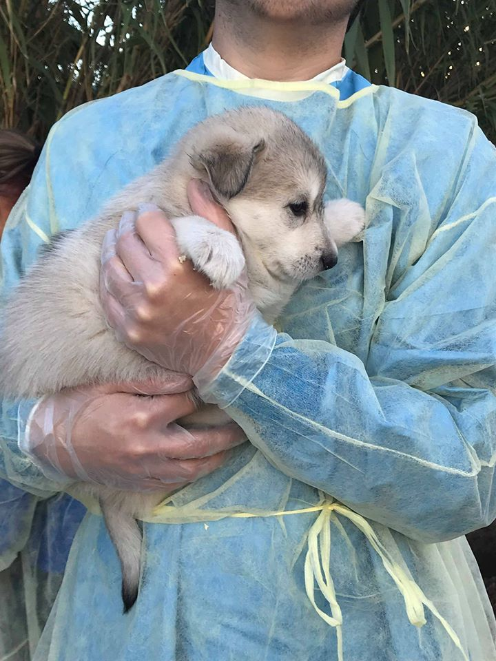 Wolf pup rescue